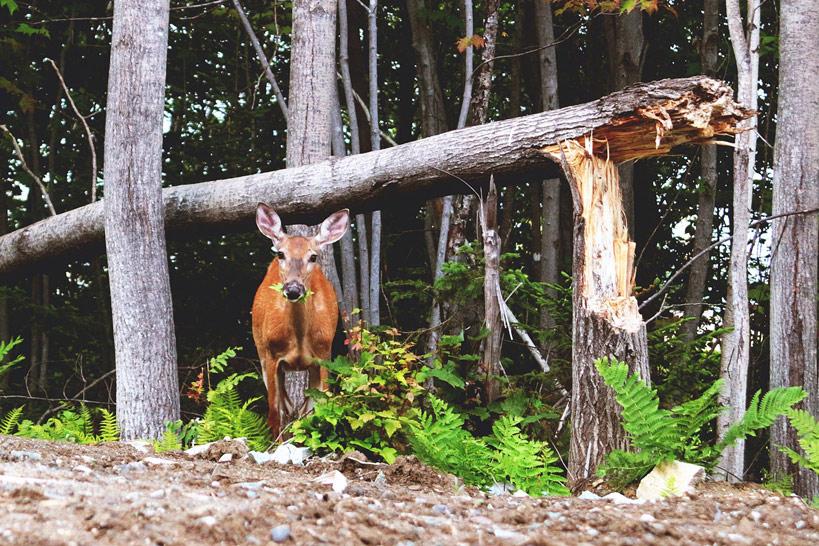 vie campus Mont-Bellevue Sherbrooke nature chevreuil